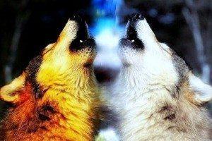 La bataille des loups