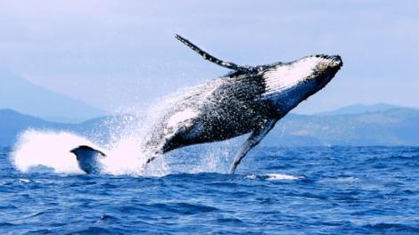 Peuple des Baleines