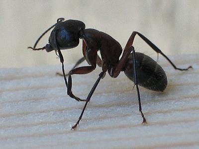 Le peuple des fourmis terre nouvelle - Comment faire fuir les fourmis ...